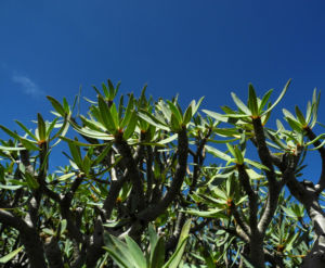 Balsam-Wolfsmilch Blatt grün Euphorbia balsamifera