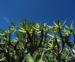 Zurück zum kompletten Bilderset Balsam-Wolfsmilch Blatt grün Euphorbia balsamifera