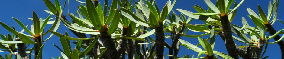 Anklicken um das ganze Bild zu sehen  Balsam-Wolfsmilch Blatt grün Euphorbia balsamifera