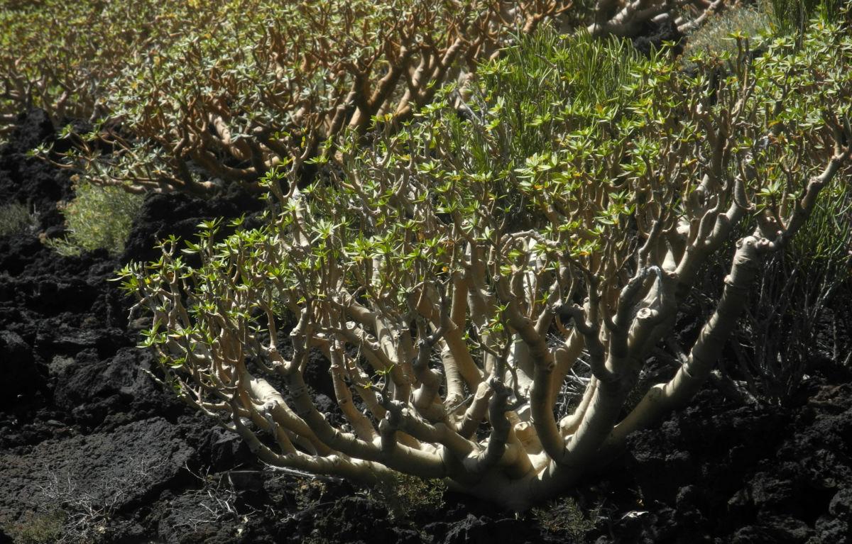 Balsam Wolfsmilch Bluete gelb gruen Euphorbia balsamifera 09Balsam Wolfsmilch Blatt gruen Euphorbia balsamifera