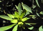Balsam Wolfsmilch Bluete gelb gruen Euphorbia balsamifera 10