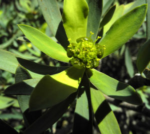 Balsam Wolfsmilch Bluete gelb gruen Euphorbia balsamifera 13