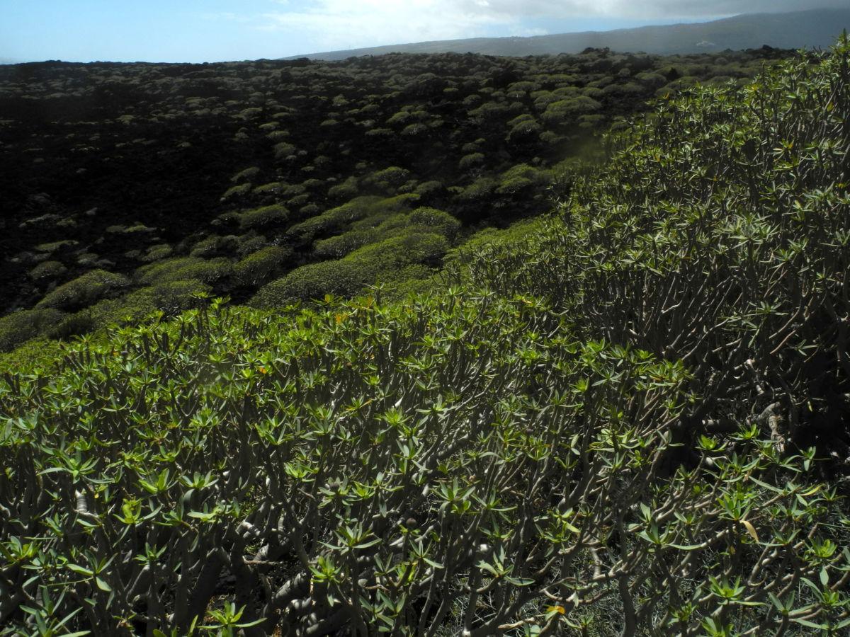 Balsam Wolfsmilch Bluete gelb gruen Euphorbia balsamifera 13Balsam Wolfsmilch Blatt gruen Euphorbia balsamifera