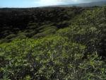 Balsam Wolfsmilch Bluete gelb gruen Euphorbia balsamifera 13Balsam Wolfsmilch Blatt gruen Euphorbia balsamifera 13
