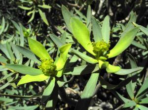 Balsam Wolfsmilch Bluete gelb gruen Euphorbia balsamifera 14