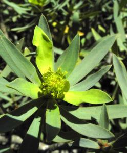 Balsam-Wolfsmilch Blüte gelb grün Euphorbia balsamifera
