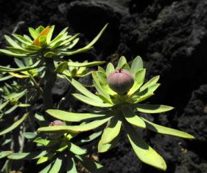 Bild: Balsam Wolfsmilch Frucht rot Euphorbia balsamifera