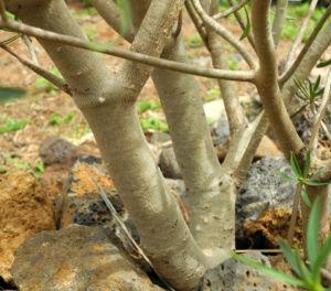 Balsam Wolfsmilch Stamm Rinde grau Euphorbia balsamifera 01Balsam Wolfsmilch Blatt gruen Euphorbia balsamifera 01
