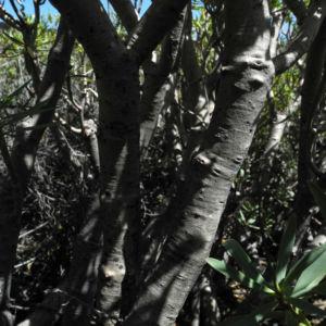 Balsam Wolfsmilch Stamm Rinde grau Euphorbia balsamifera 03Balsam Wolfsmilch Blatt gruen Euphorbia balsamifera 03