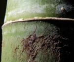 Bambus Giant Timber Bamboo Staengel Blatt gruen Bambusa oldhamii 02