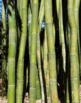 Bambus Giant Timber Bamboo Staengel Blatt gruen Bambusa oldhamii 06
