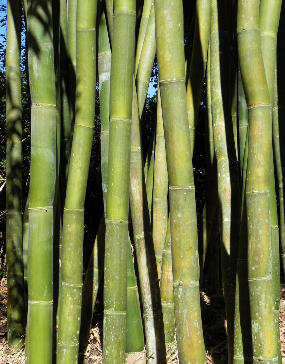 Bambus Giant Timber Bamboo Staengel Blatt gruen Bambusa oldhamii
