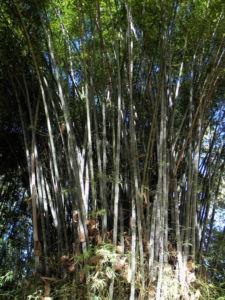 Bild: Bambus Giant Timber Bamboo Staengel Blatt gruen Bambusa oldhamii