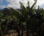 Banane Blatt Staengel gruen Musa acuminata 01
