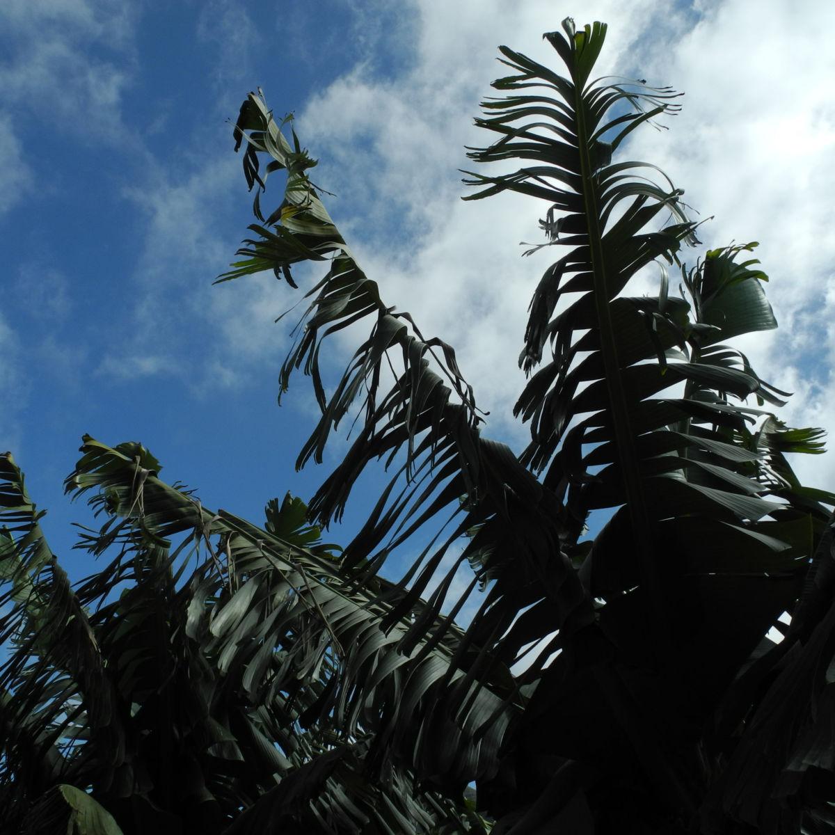 Banane Blatt Staengel gruen Musa acuminata
