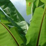 Banane Blatt Musa 01 2