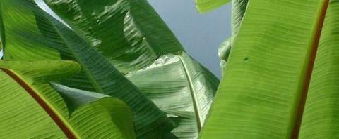 Anklicken um das ganze Bild zu sehen Banane Blatt Musa