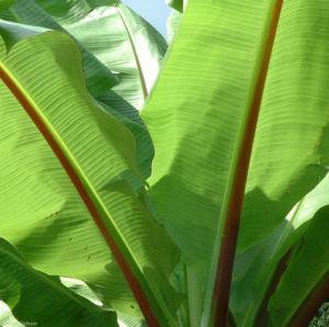 Banane Blatt Musa 03