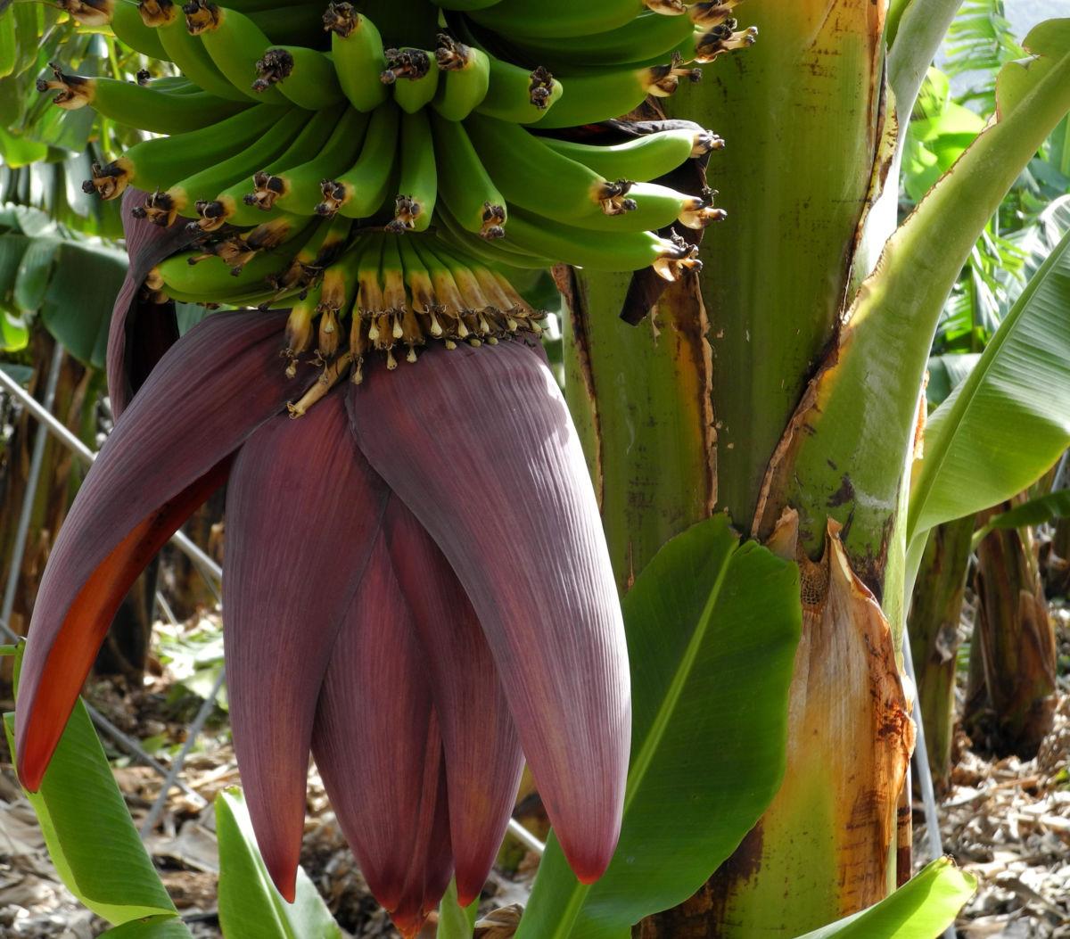 Banane Bluete rot braun Musa acuminata
