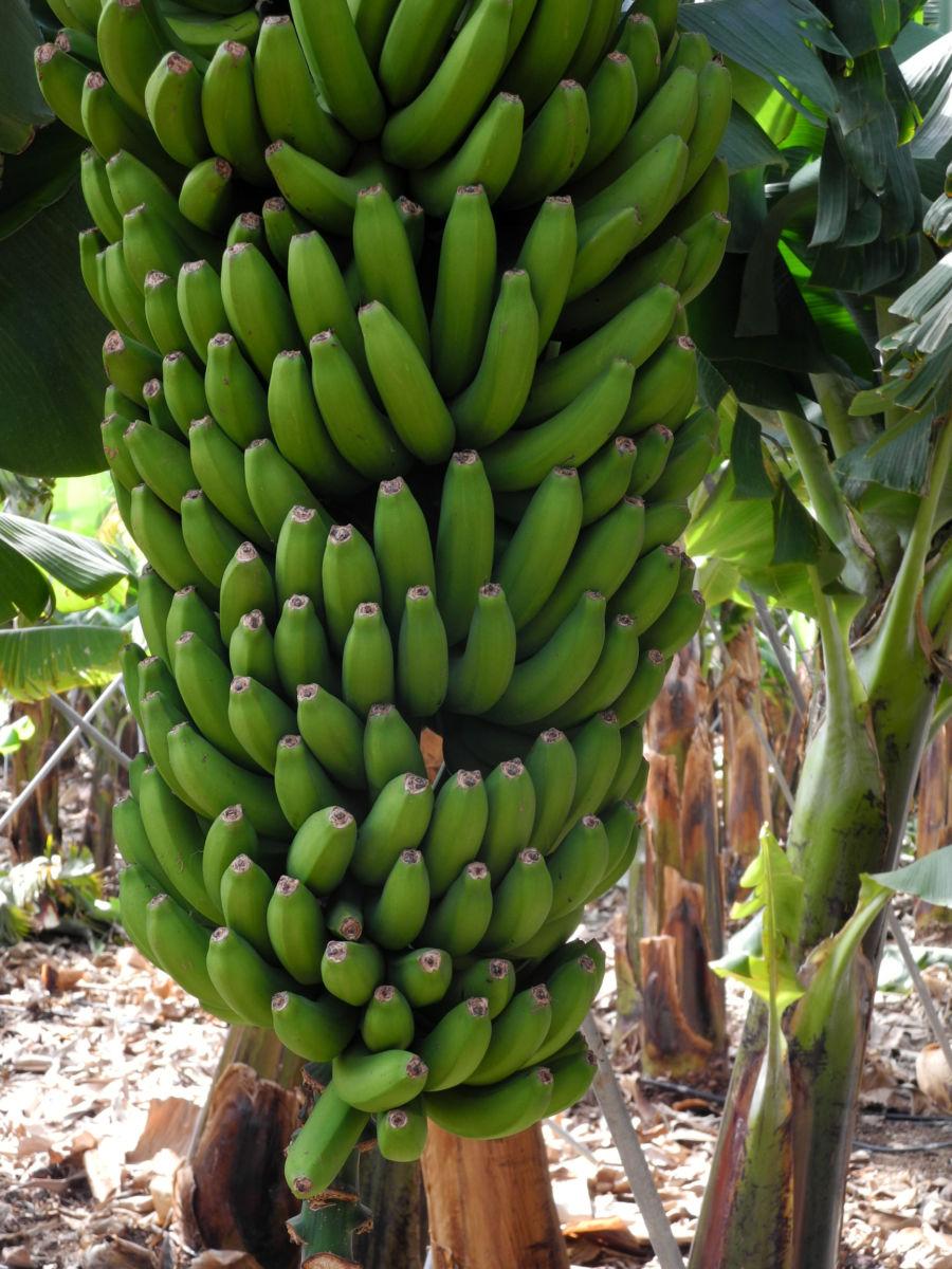 Banane Frucht gruen Musa acuminata