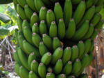 Bild: Banane Blatt Stängel Frucht gruen rotbraun Musa acuminata