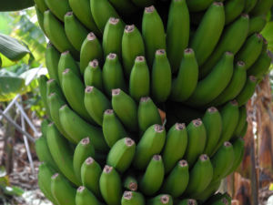 Banane Blatt Stängel Frucht gruen rotbraun Musa acuminata