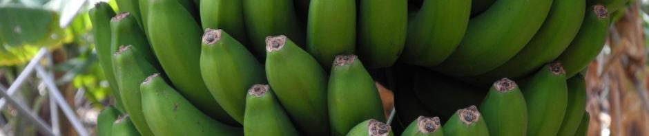banane-blatt-staengel-frucht-gruen-rotbraun-musa-acuminata