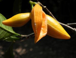 Bananenbusch Frucht orange Tabernaemontana pandacaqui 02