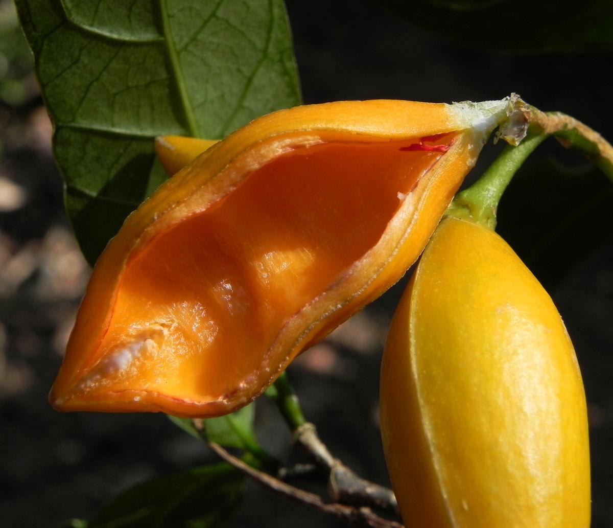 Bananenbusch Frucht orange Tabernaemontana pandacaqui