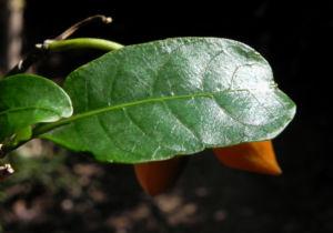 Bananenbusch Strauch Blatt gruen Tabernaemontana pandacaqui 13