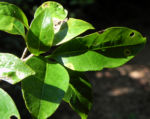 Bananenbusch Strauch Blatt gruen Tabernaemontana pandacaqui 14