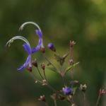 Bartblume Bluete weiss lila Caryopteris 03