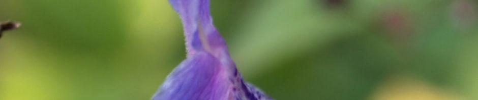 bartblume-bluete-weiss-lila-caryopteris