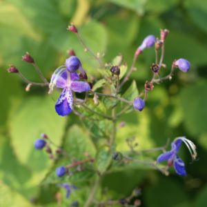 Bartblume Bluete weiss lila Caryopteris 05