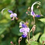 Bartblume Bluete weiss lila Caryopteris 06