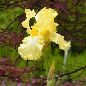 Bartiris Piroschka Bluetendolde orange gelb Iris barbata elatior 01
