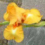 Bild: Bart-Iris Piroschka Blütendolde orange gelb Iris barbata elatior