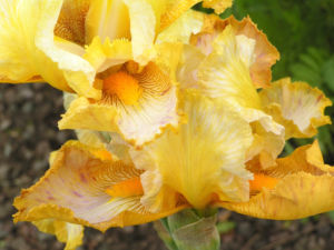 Bartiris Piroschka Bluetendolde orange gelb Iris barbata elatior 06
