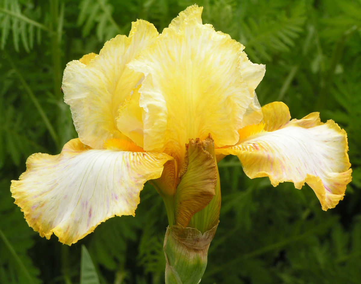 Bartiris Piroschka Bluetendolde orange gelb Iris barbata elatior