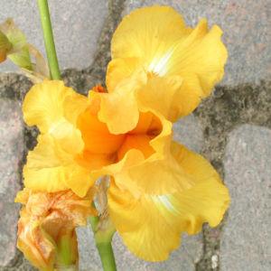 Bartiris Piroschka Bluetendolde orange gelb Iris barbata elatior 09