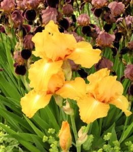Bartiris Piroschka Bluetendolde orange gelb Iris barbata elatior 11