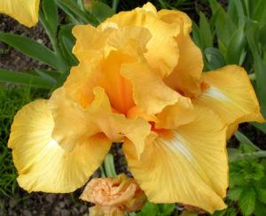 Bartiris Piroschka Bluetendolde orange gelb Iris barbata elatior 13