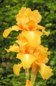 Bartiris Piroschka Bluetendolde orange gelb Iris barbata elatior 15