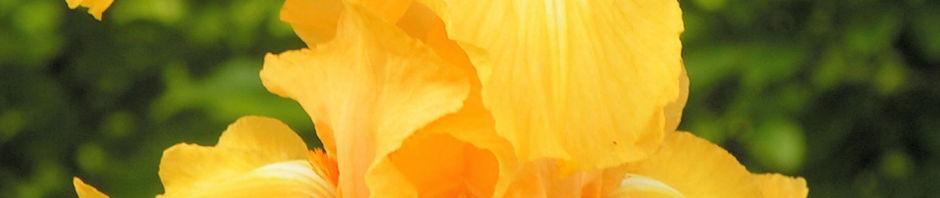 bart-iris-piroschka-bluetendolde-orange-gelb-iris-barbata-elatior