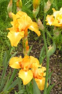 Bartiris Piroschka Bluetendolde orange gelb Iris barbata elatior 21