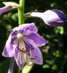 Bauchige Funkie Bluete lila Hosta ventricosa 01