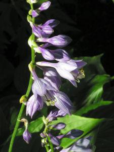 Bild: Bauchige Funkie Bluete lila Hosta ventricosa