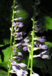 Bauchige Funkie Bluete lila Hosta ventricosa 11 1