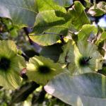 Baum Cyclocarya Frucht Cyclocarya paliurus 05