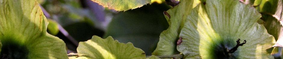 baum-cyclocarya-frucht-cyclocarya-paliurus